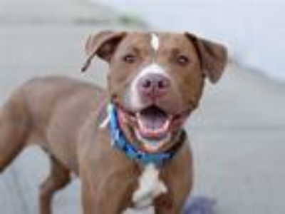 Adopt Gucci a Mixed Breed (Large) / Mixed dog in Brooklyn, NY (25539540)