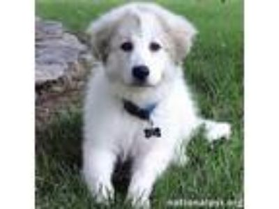 Adopt Bernie in OK - Happy-Go-Lucky a White - with Gray or Silver Great Pyrenees