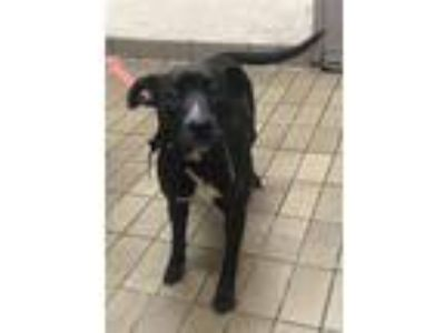 Adopt Nelly a Labrador Retriever, Terrier