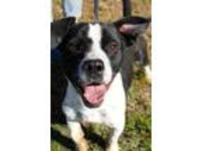 Adopt Heron a Basset Hound / Boston Terrier / Mixed dog in San Diego