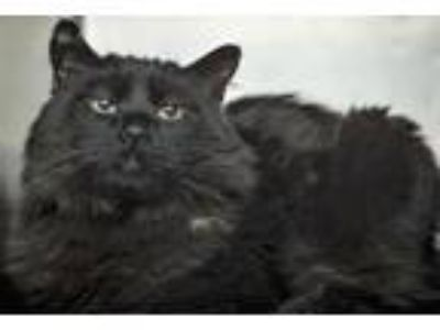 Adopt Sandrea a All Black Domestic Longhair / Mixed (long coat) cat in St.Ann