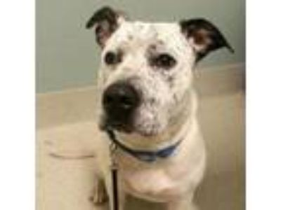 Adopt Jodie a Australian Cattle Dog / Blue Heeler, Mixed Breed