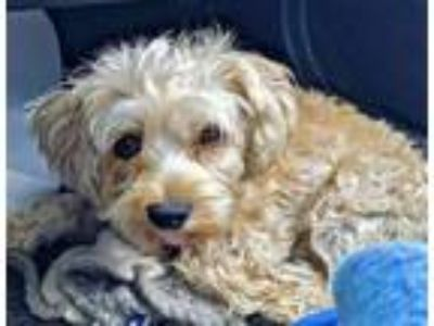 Adopt Loki a Terrier, Poodle