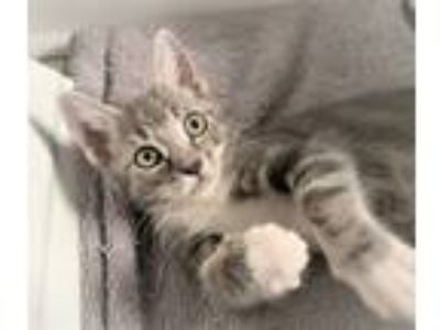 Adopt Elfie a Gray or Blue (Mostly) Domestic Shorthair (short coat) cat in