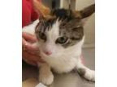Adopt Bunny 1 a White Domestic Shorthair / Domestic Shorthair / Mixed cat in