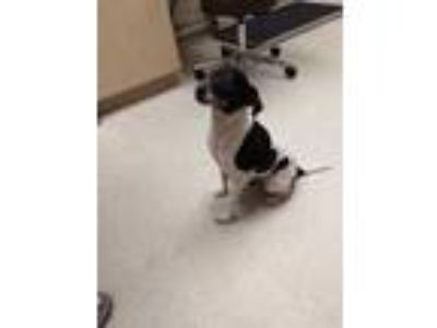 Adopt KEWPIE a White - with Black Rat Terrier / Mixed dog in Clyde