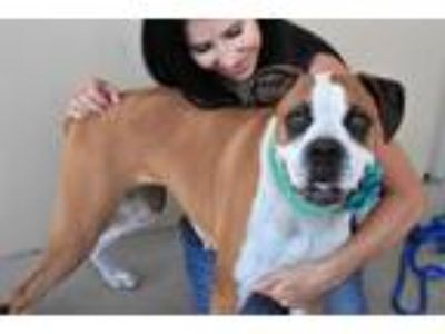 Adopt Laguna a Tan/Yellow/Fawn - with White Boxer / Mixed dog in McKinney