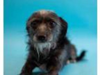 Adopt Emma a Black Terrier (Unknown Type, Small) / Mixed dog in Palm Springs