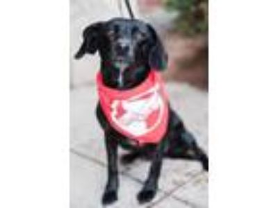 Adopt Hollee a Black Dachshund / Terrier (Unknown Type, Small) / Mixed dog in