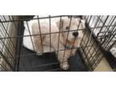 Adopt a White Westie, West Highland White Terrier / Mixed dog in Fort