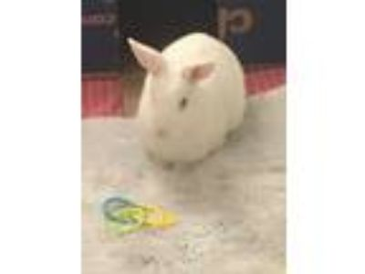Adopt Sunny a Albino or Red-Eyed White Polish / Mixed (short coat) rabbit in