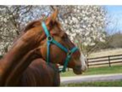 EventerFoxhunter Mare for Care Lease
