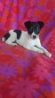 Lilly Female Toy Fox Terrier