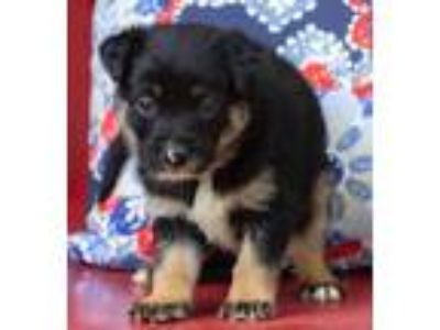 Adopt Baby Han - available 6/22 a Shepherd