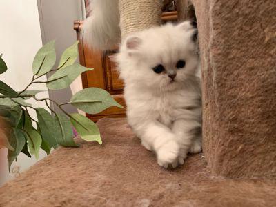 Ragdoll Kittens For Sale Craigslist Petfinder