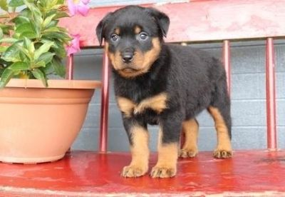 incisive Rottweiler puppies ready