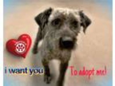 Adopt a Black - with Gray or Silver Schnauzer (Miniature) / Mixed dog in