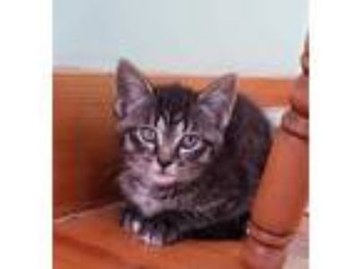 Adopt Primrose Everdeen a Gray or Blue Domestic Shorthair / Mixed cat in