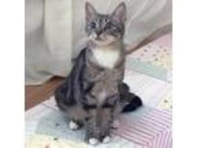 Adopt Lucille a Brown or Chocolate Domestic Shorthair / Domestic Shorthair /