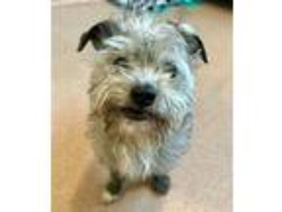 Adopt Bronco a Terrier (Unknown Type, Medium) / Mixed dog in Santa Rosa