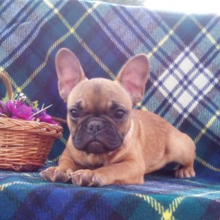 French Bulldog PUPPY FOR SALE ADN-103884 - Mimi in Boston