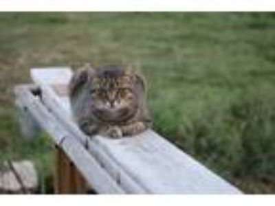 Adopt Sassy a Gray, Blue or Silver Tabby American Shorthair (short coat) cat in