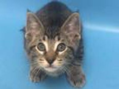 Adopt Matteo a Brown or Chocolate Domestic Shorthair / Mixed (short coat) cat in