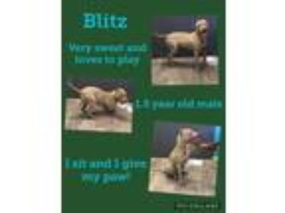 Adopt Blitz a Red/Golden/Orange/Chestnut Mixed Breed (Large) / Mixed dog in St.