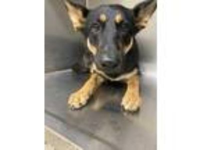 Adopt ADOPTED a Black German Shepherd Dog / Mixed dog in Fort Worth