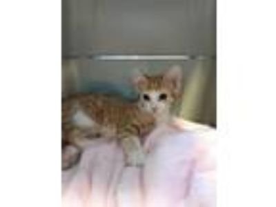 Adopt Tonto or Twinkle-25 a Domestic Shorthair / Mixed (short coat) cat in