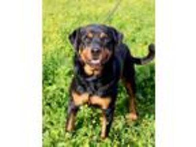 Adopt Abita a Black - with Tan, Yellow or Fawn Rottweiler / Mixed dog in Baton