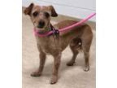 Adopt Baron a Red/Golden/Orange/Chestnut Dachshund / Mixed dog in Caldwell