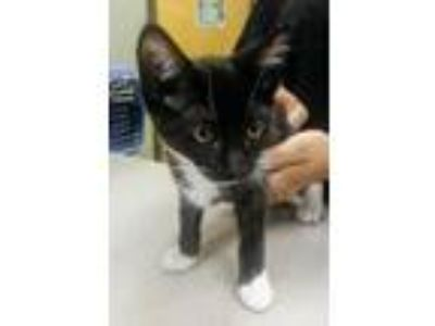 Adopt Margery a All Black Domestic Shorthair / Domestic Shorthair / Mixed (short
