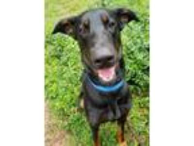 Adopt Tony a Doberman Pinscher