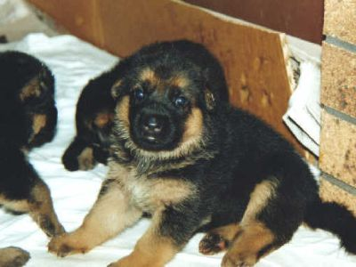 German Shepherd Dog PUPPY FOR SALE ADN-104116 - German Shepherd Puppies