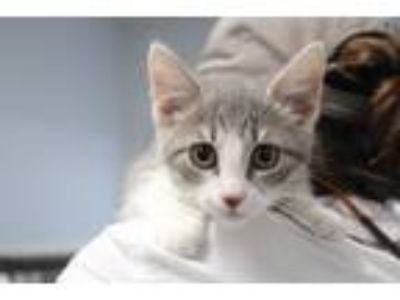 Adopt Paul a Gray or Blue (Mostly) Domestic Shorthair (short coat) cat in Reeds