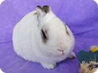 Adopt Berlioz a White Dwarf Hotot / Mixed (short coat) rabbit in Los Angeles