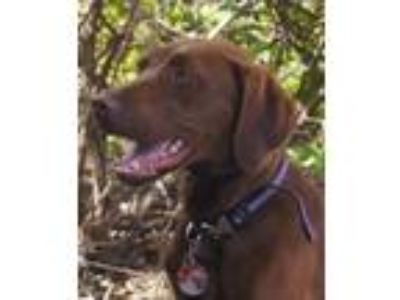 Adopt WREN YepCats! a German Shorthaired Pointer, Labrador Retriever