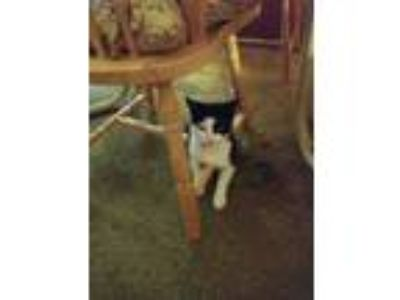 Adopt Sheba a Black & White or Tuxedo Domestic Shorthair / Mixed cat in Rocky