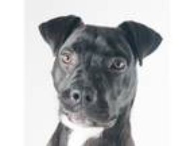 Adopt Rascal a Black American Pit Bull Terrier / Mixed dog in San Francisco
