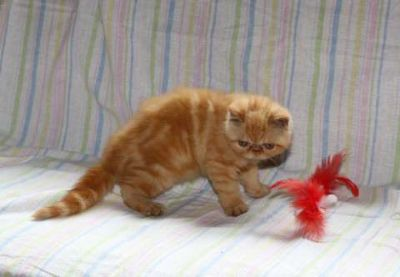 Exotic shorthair persian kitty