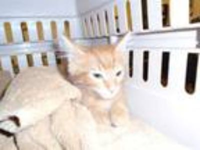 Adopt Cat a Orange or Red Tabby Domestic Shorthair / Mixed (short coat) cat in