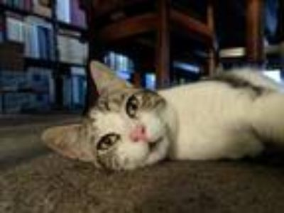 Adopt Lemon a Gray, Blue or Silver Tabby Domestic Shorthair cat in Stanton