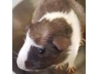 Adopt Heidi a Brown or Chocolate Guinea Pig / Mixed small animal in Washington