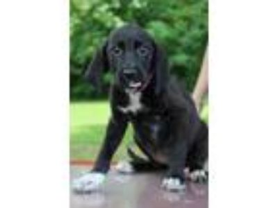 Adopt Daisy a Black - with White Labrador Retriever / Mixed dog in Waldorf