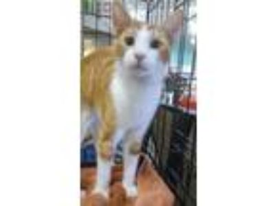 Adopt Taffy a American Shorthair, Domestic Short Hair