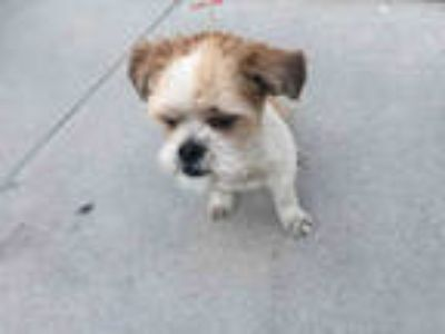 Adopt SCOOBY a White - with Brown or Chocolate Shih Tzu / Mixed dog in Long