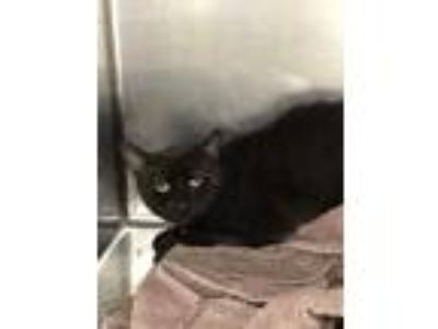 Adopt Bess a All Black Domestic Shorthair / Domestic Shorthair / Mixed cat in