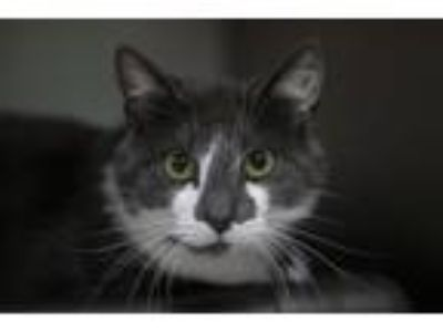 Adopt Batman a Gray or Blue Domestic Shorthair / Mixed cat in Mountain Home
