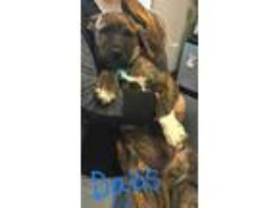 Adopt Dabs a Brindle Plott Hound / Mixed dog in Voorhees, NJ (25328953)